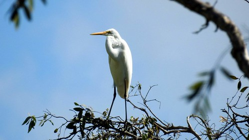 Great? egret