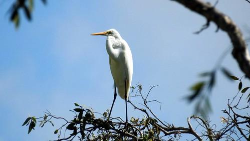 Great? egret