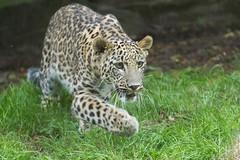 Persian leopard 2016-07-07-0479 (bzd1) Tags: panter nature animal mammal carnivore persianleopard leopard felidae cat bigcats panthera pantherapardusciscaucasia