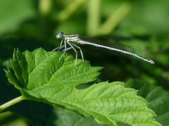 Libelle (judith74) Tags: brandenburg oberhavel ohv oranienburg ufer natur libelle dragonfly