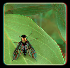Female Golden-backed Snipe Fly - Chrysopilus Thoracicus 3 - Anaglyph 3D (DarkOnus) Tags: macro closeup female insect fly stereogram 3d day phone pennsylvania cell anaglyph stereo friday stereography buckscounty snipe fdf huawei chrysopilus goldenbacked thoracicus hfdf flydayfriday mate8 darkonus