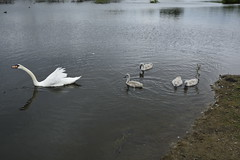 Rabbit Ings (235) (rs1979) Tags: rabbitings royston barnsley southyorkshire yorkshire pond muteswan muteswans swan swans cygnet cygnets