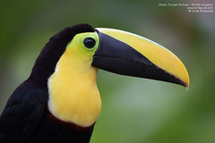 Choco Toucan Portrait - Mindo, Ecuador (Vivek Khanzod (www.birdpixel.com)) Tags: nature birds quito ecuador flickr wildlife facebook lifer mindo chocotoucan