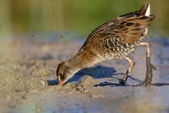rle d'eau ( Rallus aquaticus ) Erdeven 160810p2 (pap alain) Tags: oiseaux chassiers rallids rledeau rallusaquaticus waterrail erdeven morbihan bretagne france