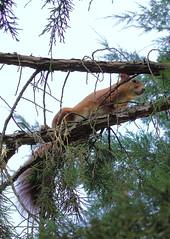 Red squirrel (stanzebla) Tags: eichhrnchen redsquirrel cureuil sciurusvulgaris schlossschwetzingen