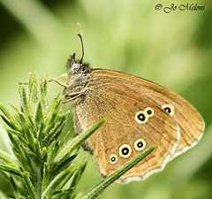 Ringlet - Minsmere - Explored! (giogio_uk) Tags: summer brown macro butterfly insect suffolk nikon pretty spots tamron minsmere tamron90mm ringlet countryfile nikond7200