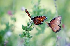 all aflutter (barbara carroll) Tags: butterflies queen danausgilippus aflutter