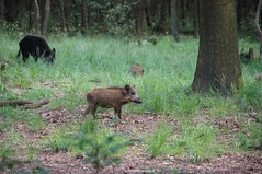 DSC07593 2 (ZANDVOORTfoto.nl) Tags: zandvoortfotonl zandvoortfoto wildlife zwijnen wilde zwijn everzwijn