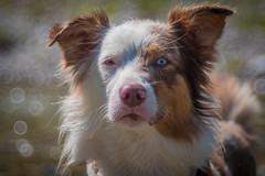 Lets go further (matthiasstiefel) Tags: meyeroptikgrlitztrioplan100mmf2 sina trioplan australianshepherd dog eyes water hund