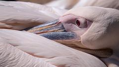 Oeil rouge du plican (sviet73) Tags: portrait animal pelican oiseau