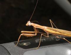 bug of the day (urtica) Tags: westboroughma ma massachusetts usa westborough night bugoftheday insect mantid mantis mantodea mantidae mantisreligiosa europeanmantis europeanmantid