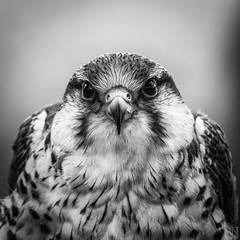 Falcon BW 2016_06_26 (MAICN) Tags: nature natur outdoor bird vogel falke falcon mono bw sw square schwarzweis blackwhite