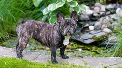Kita (marcusholmqvist) Tags: french bulldog dog fransk hund chien perro sommar summer pet pets portrait portrtt
