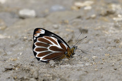 Delias klossi chrysanthemum (Hiro Takenouchi) Tags: pieridae nature insect butterflies butterfly papua delias indonesia