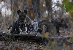 Baby Wild Dog (crafty1tutu (Ann)) Tags: travel holiday southafrica africa 2016 animal wilddog puppy baby motswariprivategamereserve crafty1tutu canon7dmkii anncameron naturethroughthelens