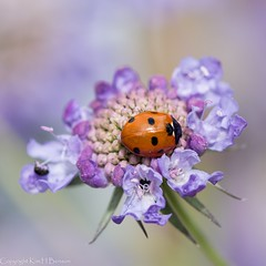 Ladybird on scabious (kimbenson45) Tags: black center centre closeup colorful colors colourful colours differentialfocus flower flowers green insect ladybird ladybug macro nature petals pink plant purple red shallowdepthoffield wildlife