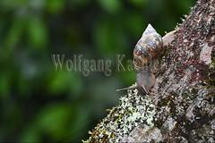 60071629 (wolfgangkaehler) Tags: 2016 southamerica southamerican ecuador ecuadorian latinamerica latinamerican rionapo rionapoecuador rionaporiver rainforest coca cocaecuador laselvalodge observationtower trees rainforestcanopy snail snails animal molluscan gastropoda
