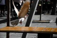 Freedom... (Francizc Chachula) Tags: dove nikon d7200 18105mm bird timisoara april 2016 outdoor building