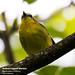 Rufous-capped Warbler, Basileuterus rufifrons