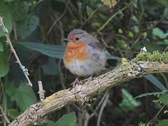 Robin (Turtlerangler) Tags: robin leightonmoss cumbria uk