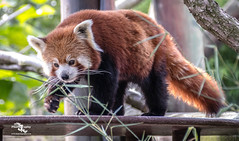 Red Panda (explore) (Sammy SJN Photography) Tags: explore red panda beautiful nature uk zoo animal lovely canon sigma