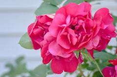 Roses - New Brunswick 2016 (Geekgirly) Tags: 2016 geekgirly wwwgeekgirlyca fredericton newbrunswick nb flowers floraandfauna flora nikon d300 85mm