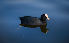 Amstelpark (Skylark92) Tags: netherlands nederland holland amsterdam amstelpark buitenveldert meerkoet coot water reflection reflectie bird animal