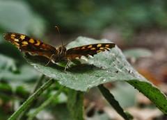 Mariposas (Sersio_Photographer) Tags: mariposas corua del conde fotografodecoruadelconde