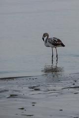Flamingo (fabioresti) Tags: flamingo fenicottero bahiaparacas baia per canoneos80d 55250