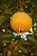 Granada (photoschete.blogspot.com) Tags: 70d eos sigma canon fruta granada alimento rbol granado macro color amarillo natural