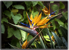 strelitzia reginae (jdl1963) Tags: flower plant nature vegetation botanical strelitzia reginae crane bird paradise