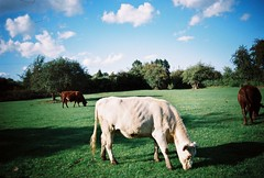 OT500 - Cows in the field (johnnytakespictures) Tags: olympus trip500 film analogue automatic kodak colorplus200 expired warwickshire coventy canal river stream towpath walk summer sun sunshire nature natural animal lifestock field countryside cow cows animals