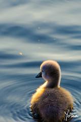 Big Blue (Yosha Photography) Tags: bird swan baby animal cute fuzz fuzzy duckling water wild wildlife duck swim animals