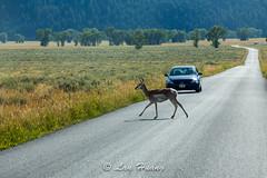 The Right of Way (Lan Huang) Tags: grandtetonnationalpark mormonrow pronghornantelope