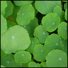 simply green (foto.phrend) Tags: green square fujifilm leaves harlowcarr nasturtiums