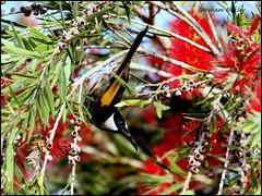 White-cheeked Honeyeater (grayham3) Tags: australian australia australianwildlife birds bird feathers honeyeater nature noosa ornithology queensland qld seq sequeensland wildlife wildscape whitecheeked