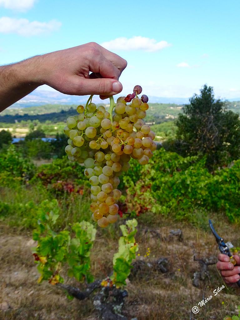 Águas Frias (Chaves) - ... vindimas 2016 ... belo cacho de uva branca ...