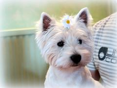 Lofty le pote... (LILI 296 ...) Tags: canonpowershotg7x chien pote marguerite westie humour romantisme blanc dog perro