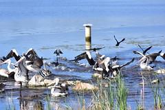 The guy with the camera is here (Luke6876) Tags: australianpelican pelican blackswan swan littleblackcormorant cormorant bird animal wildlife australianwildlife