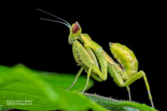 Mantis (Creobroter sp.) - PA120021 (nickybay) Tags: singapore durianloop macro hymenopodidae mantis meantodea creobroter nymph