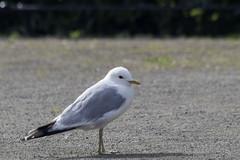 Gull (deepskywim) Tags: meeuwen vogels dieren troms troms norway no