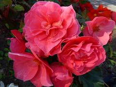 Begonia Flowers ! (Mara 1) Tags: flowers summer plants red begonias petals green leaves outdoors