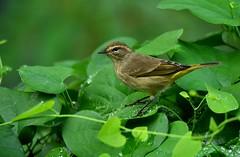 Palm Warbler DSC_0040 101616 (blthornburgh) Tags: tampa thornburgh florida bird songbird nature backyard