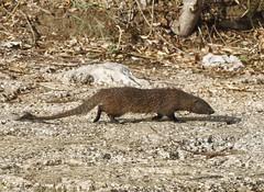 Mongoose (Mark Walpole) Tags: mongoose malaga spain