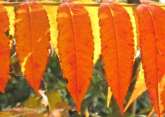 IMG_0482 (Sally Knox Sakshaug) Tags: autumn fall nature outdoors sunny bright shadow tree trees green bark brown red leaf leaves orange backlit upward skyward closeup sumac yellow line lines oval serrate serrated edge droop pretty fun happy exciting warm