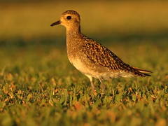 Pacific Golden Plover (Pluvialis fulva) (s_uddin59) Tags: pacificgoldenplover goldenplover plover uhm uhmanoa honolulu oahu hawaii sinclairlibrarylawn sunset dusk pluvialisfulva shorebird manoa