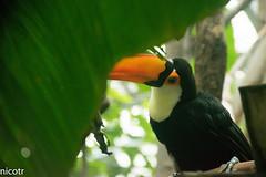 DSC_0198 (nicotr) Tags: toucan zoo