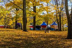The Circus Horses (ristoranta) Tags: maantiede kaisaniemi circus autumn sirkus horse piv nikond7100tamron16300mmf3563 elin syksy kaupunki helsinki hevonen elin uusimaa finland fi