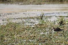 #مساء_الخير  #goodevening #طير #birds #bird #instabird #طيور  #طيور_الماء #طير_ماء #Waterbird #Waterbirds  #waterfowl #instabirds #insyaanimals #instaanimal #animal #animals #hdr #sonyalpha  #saudiarabia  #السعوديه #القصيم #السعودية #الربيعية #الربيعيه #s (photography AbdullahAlSaeed) Tags: goodevening birds instabirds طيورالماء الربيعيه مساءالخير animal hdr طيرماء طير طيورماء الربيعية السعودية waterfowl waterbird السعوديه saudiarabia instaanimal القصيم instabird bird sonyalpha sonya animals طيور insyaanimals waterbirds