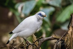 Bali Starling (syeshop) Tags: balistarling leucopsarrothschildi rare bird bali indonesia edinburgh zoo endangered critical tropical canon canon6d sigma50500mm sigma